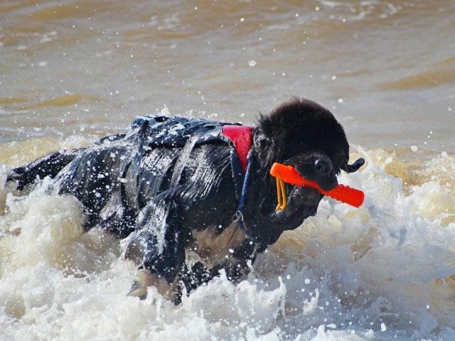 Собака-рятувальник (Світ тварин)